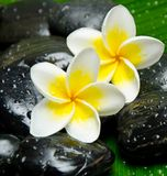 Frangipani branco Foto de Stock