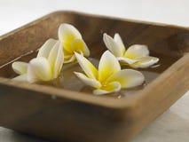 Frangipani branco Fotos de Stock Royalty Free