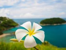 Frangipani branco & x28; plumeria& x29; flores na ilha do mar em phuket Tailândia como o fundo Fotografia de Stock Royalty Free