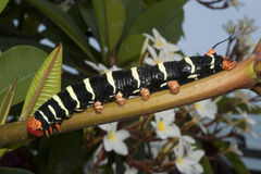 Frangipani Caterpiller Stock Images