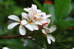 Frangipani. Colorful frangipani on blur background Stock Photography