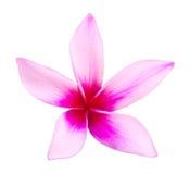 Frangipani cor-de-rosa imagem de stock royalty free