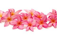 Frangipani cor-de-rosa Fotos de Stock