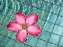 Frangipani cor-de-rosa Fotos de Stock Royalty Free