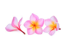 Frangipani cor-de-rosa ou flores tropicais do plumeria isoladas no branco Fotos de Stock Royalty Free