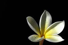 Frangipani from the dark. Flower bloom with drop on black background Stock Photo