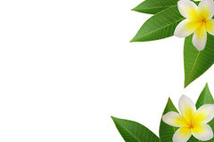 frangipani de cadre Image stock