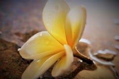 Frangipani de la flor Imagen de archivo libre de regalías