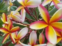 Frangipani de rubra de Plumeria Photographie stock