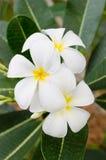 Frangipani del fiore Immagine Stock
