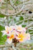 Frangipani del fiore di bellezza Fotografie Stock