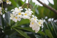 Frangipani do Plumeria Esta é uma flor tailandesa nacional Fotos de Stock Royalty Free