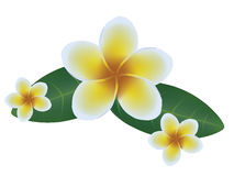 Frangipani, Dok Champa Laos Royalty Free Stock Images