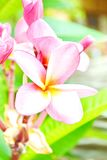 Frangipani, Dok Champa Laos, Royalty Free Stock Images