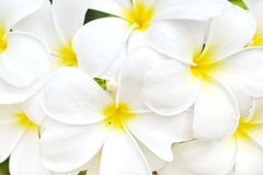 Frangipani, Dok Champa Laos Royalty Free Stock Photography
