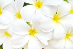 Frangipani, Dok Champa Laos. National flower of Laos Royalty Free Stock Photography