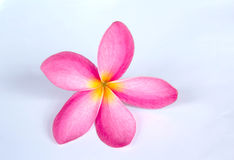 Frangipani, Dok Champa with white background Royalty Free Stock Photography
