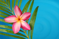 Frangipani door de poolkant Stock Foto's