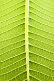 Frangipani drzewa Obrazy Stock