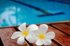 Frangipani durch Swimmingpool Stockfoto