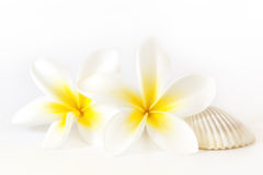 Frangipani e Seashell Fotos de Stock Royalty Free
