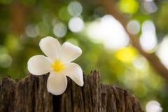 Frangipani is een bloem van Thais ?kuuroord stock foto