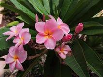 Frangipani- eller Plumeriablomma Royaltyfri Foto