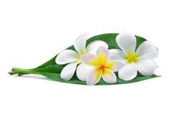 Frangipani eller tropiska blommor för plumeria med gröna sidor Arkivbild