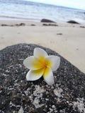 Frangipani em uma rocha Fotos de Stock