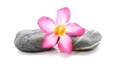 Frangipani en Zen Stone Stock Fotografie
