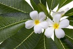 Frangipani et feuilles sur un fond blanc Photo stock