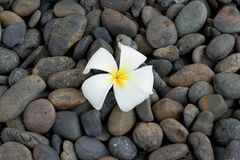 Frangipani fall on the stone. Frangipani fall down on the  black stone in garden Royalty Free Stock Image