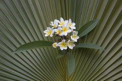Frangipani on Fan Palm background Royalty Free Stock Images