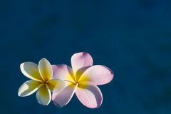 Frangipani floating Royalty Free Stock Photos