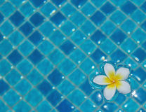 Frangipani floating on water Stock Photo