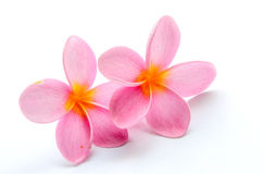 Frangipani, flor del Plumeria Imagenes de archivo
