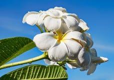 Frangipani - flor del plumeria Foto de archivo