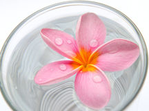 Frangipani, flor del Plumeria en el agua en vidrio fotografía de archivo libre de regalías
