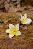 Frangipani, flor tropical del Plumeria Fotografía de archivo libre de regalías