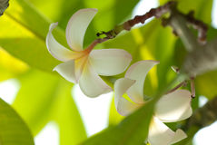 Frangipani flower. Darker Frangipani flower for backbround Royalty Free Stock Image
