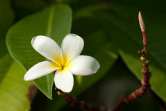 Frangipani flower. Darker Frangipani flower for backbround Stock Photos