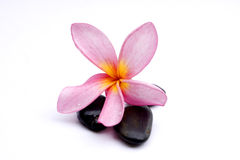 Frangipani Flower. With zen stone insolated in white Stock Photos