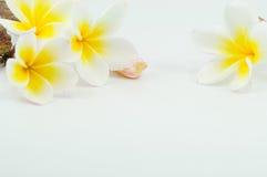 Frangipani flower. On white background Stock Photography