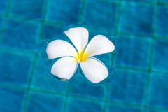 Frangipani flower Royalty Free Stock Photography