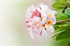 Frangipani Flower. On Background Stock Photo