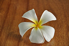 Frangipani flower Stock Photography