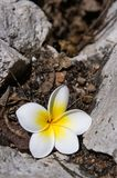 Frangipani Flower Stock Photos