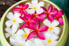Frangipani flower. In Water Bowl stock photo