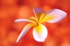 Frangipani Flower. Close-up of a frangipani flower against colorful background stock image