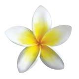 Frangipani flower. Isolated on white Stock Photography